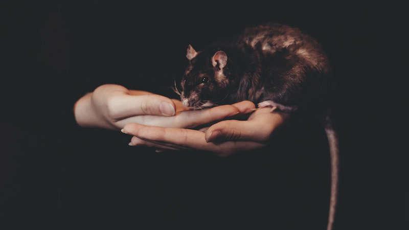 Sennik: szczur. Jak interpretować sen o szczurze?