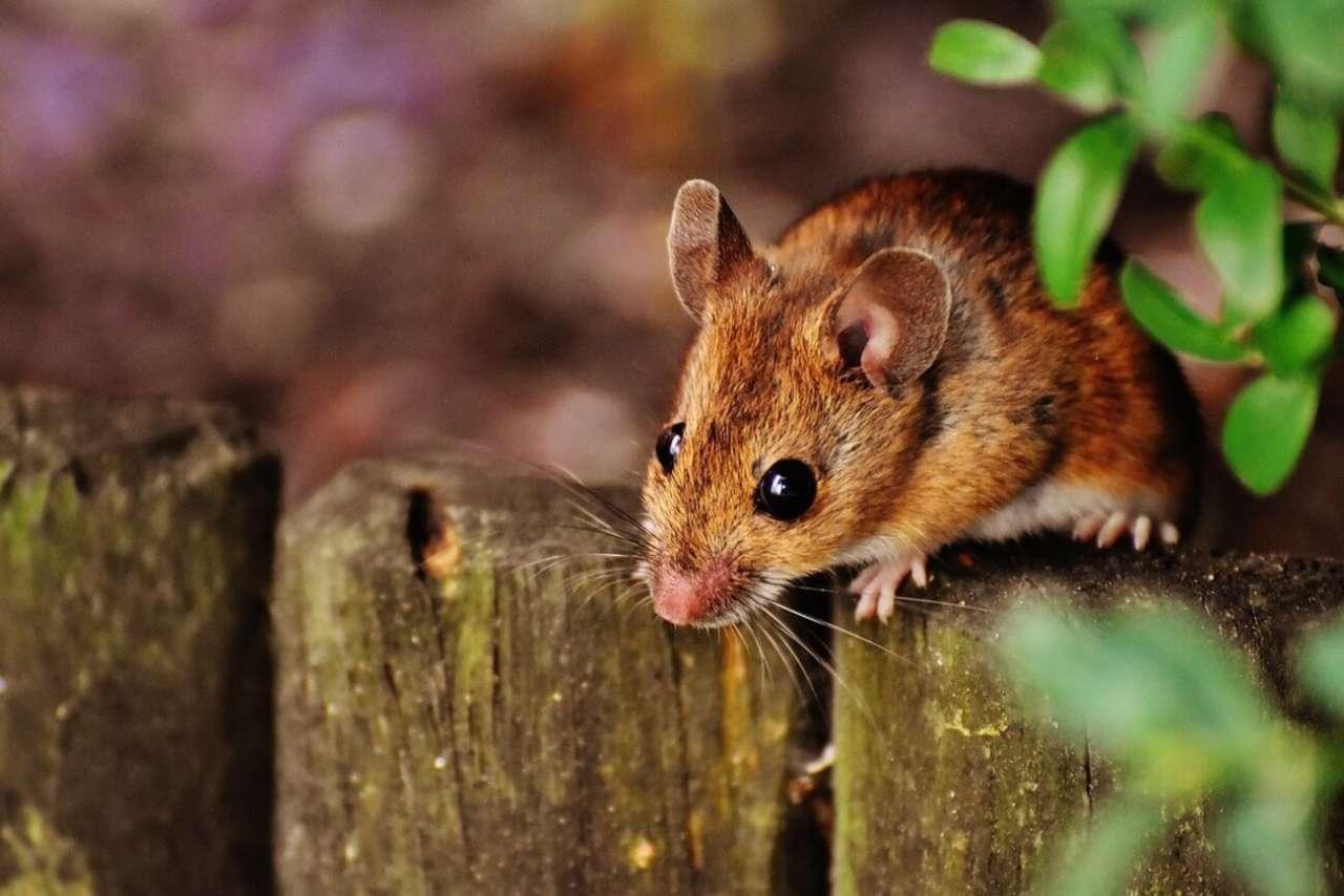 Sennik: Myszy. Co oznacza sen o myszach?
