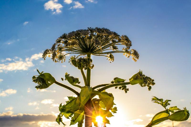 roślina barszcz sosnowskiego