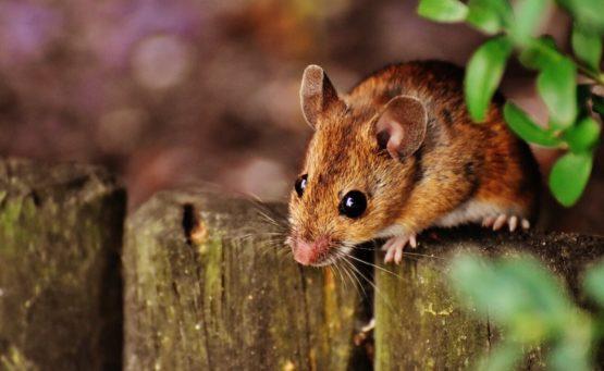 sennik: sen o myszach