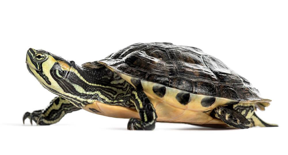 domowy żółw czerwonolicy