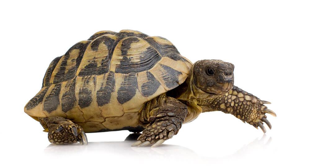 ile kosztuje żółw grecki