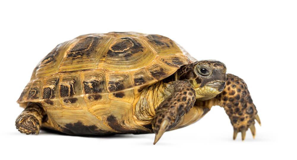żółw stepowy cena