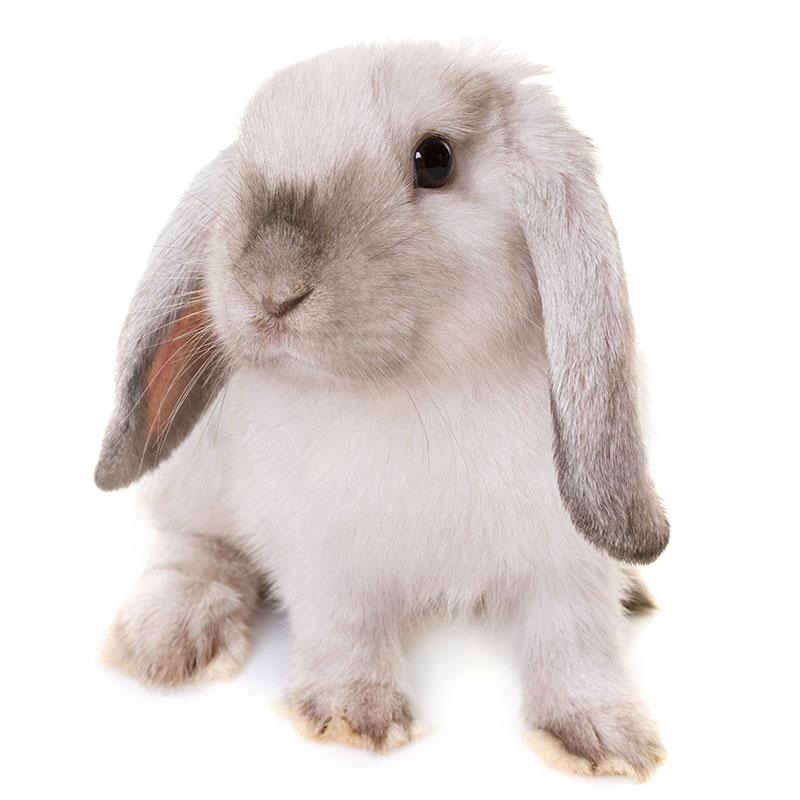 królik baranek (mini lop)
