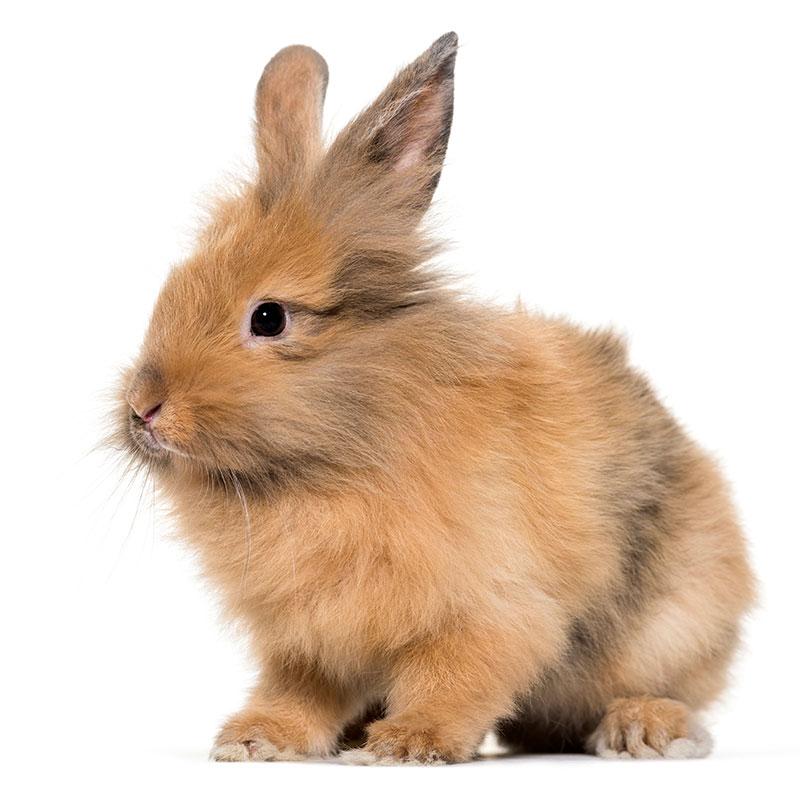Lew Miniaturka - króliczek - Lionhead rabbit