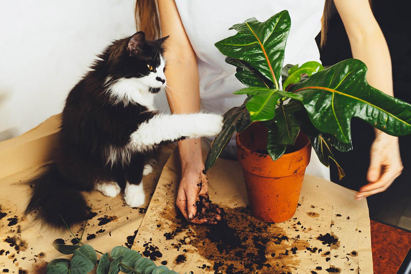 Rośliny trujące dla kota – Jakie kwiaty są trujące dla kota? Gatunki i objawy zatrucia