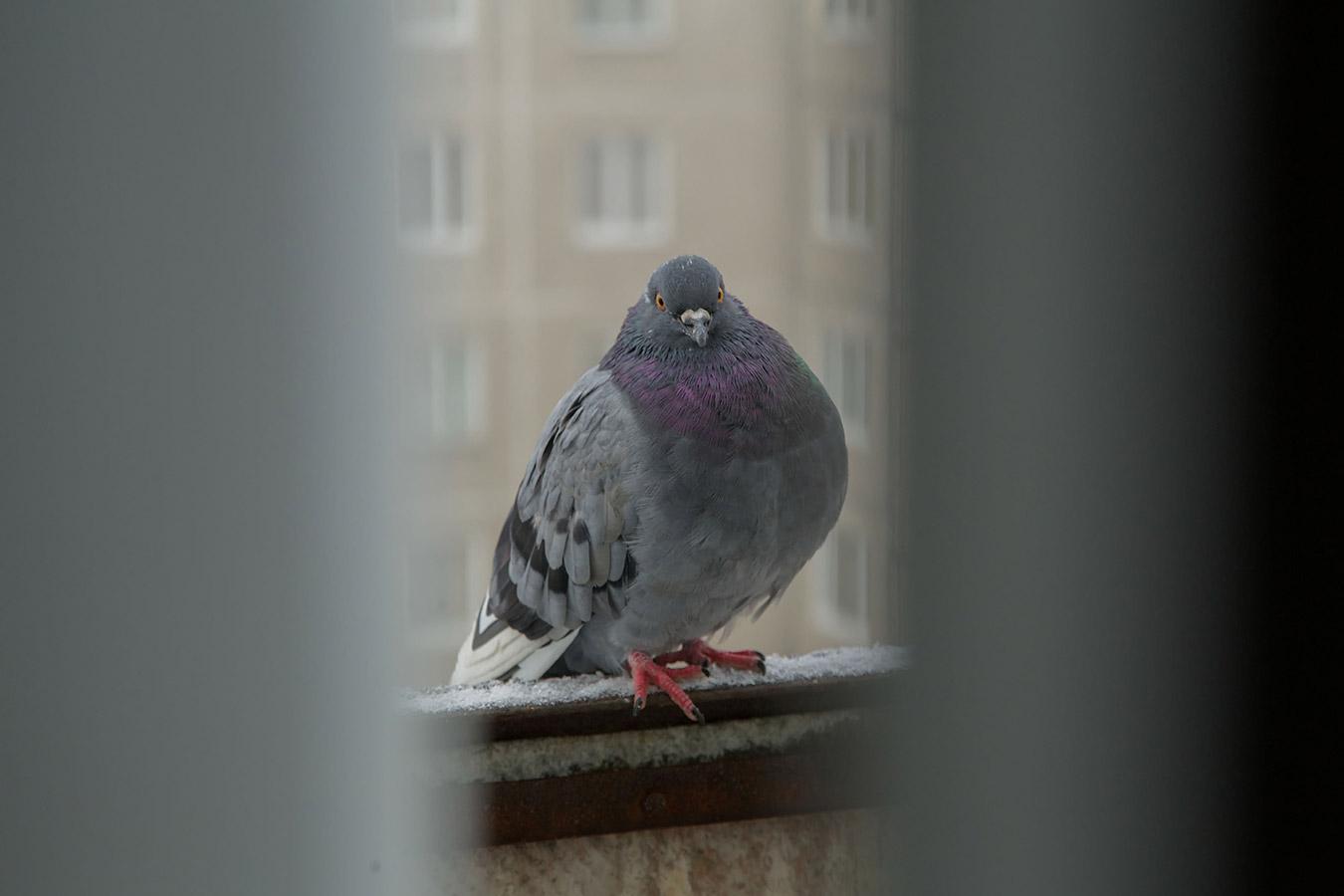 Gołąb na balkonie – Co zrobić z gniazdem gołębi?